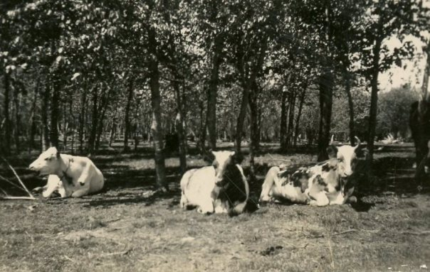 Our cattle up home in Minnesota, in the pasture near our house. They were a varied lot, as well as pampered and much loved.